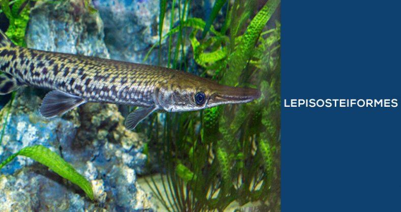 Lepisosteiformes